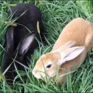 肉兔养殖基地种兔价格肉兔行情图片