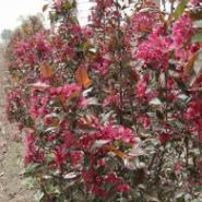 绿化海棠苗图片