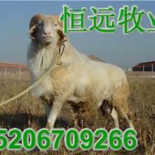供应肉羊品种波尔山羊养殖致富信息好项目养肉牛批发