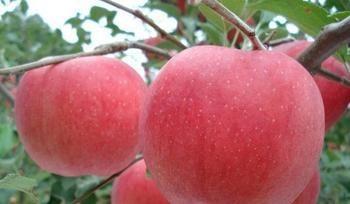 西昌盐源冰糖心苹果图片/西昌盐源冰糖心苹果样板图 (4)