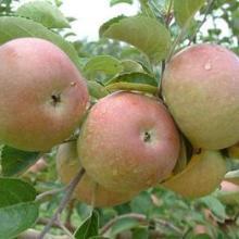 供应西昌盐源冰糖心苹果—大凉山无污染水果—四川盐源冰糖心苹果批发