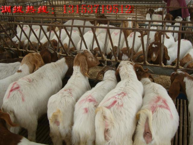 供应低价出售波尔山羊羊羔
