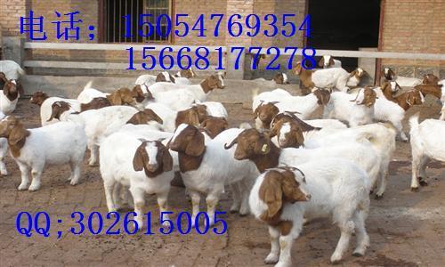 供应银川肉羊价格波尔山羊小尾寒羊