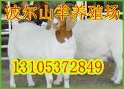 2011年陕西黑山羊价格最新羊价图片