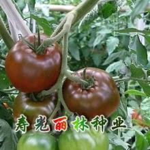 供应黑番茄种子紫晶150批发