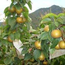 供应梨树苗价格批发