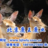 双阳梅花鹿养殖技术视频/梅花鹿种图片