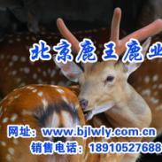 2011年陕西省西安市梅花鹿养殖图片