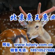 供应梅花鹿鹿茸的锯茸方法/梅花鹿养殖技术/梅花鹿养殖基地