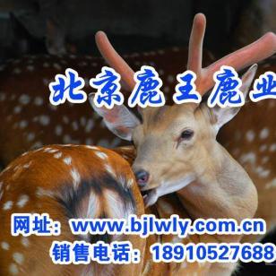 饲料添加剂/梅花鹿繁殖/鹿茸价图片