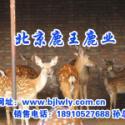 011年梅花鹿种鹿价格/2011图片