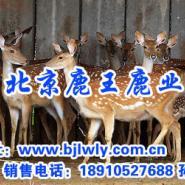 山西养鹿图片