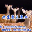 供应2012年台湾梅花鹿养殖场殖场