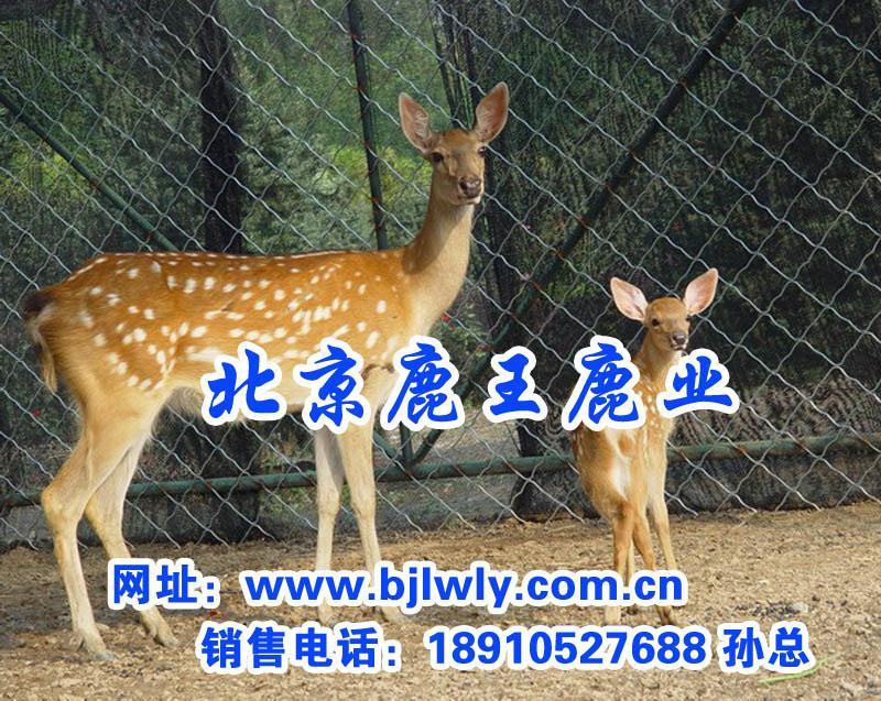 供应北京宣武区双阳梅花鹿养殖场/鹿肉