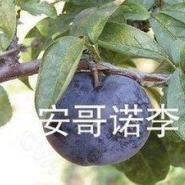 果树新品种李子图片