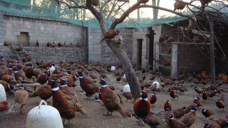 四川野鸡养殖技术_蝇蛆养殖技术_土元养殖技术_山鸡的养殖_淘宝学堂