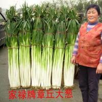 大葱种植技术 大葱的种植 怎样种葱 如何种葱 大葱 章丘大葱协会