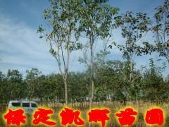 供应楸树主产区,楸树种植区,楸树树苗基地,河北保定苗圃树苗出售树