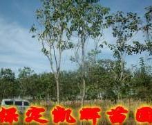 供应楸树主产区,楸树种植区,楸树树苗基地,河北保定苗圃树苗出售树图片