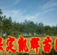 定干楸树图片