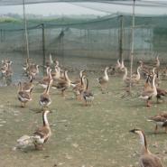 张家港东灵生态养殖的大雁图片