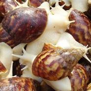 广东白玉蜗牛价格图片