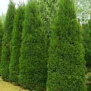 山西署侩绿化苗木图片