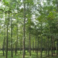 供应绿化用12公分银杏树