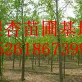 供应目前南京银杏树价格