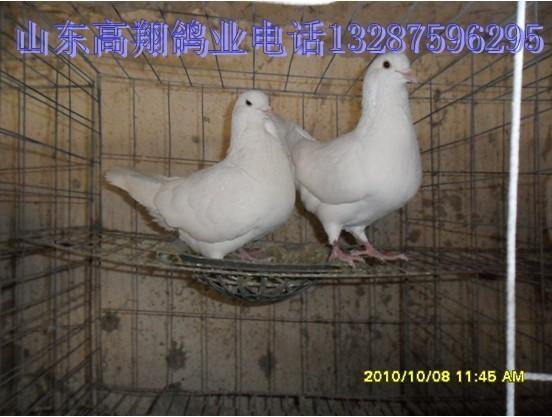 供应肉鸽饲料肉鸽饲料的配比图片
