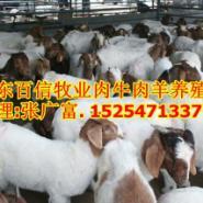 陕西西安哪里有销售波尔山羊羊苗的图片