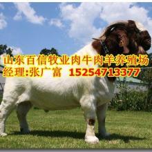 供应河北种羊价格河北波尔山羊种羊场图片
