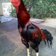 哪里有斗鸡山西纯种斗鸡养殖场图片