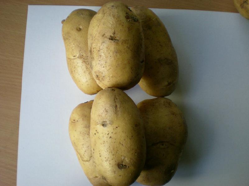 脱毒土豆种子费乌瑞它图片图片
