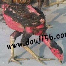 越南蹦极母鸡-越南斗鸡母鸡货源/v母鸡_一呼百功夫斗鸡图片