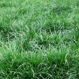草坪种子牧草种子多年生黑麦草种子销售