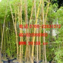 供应 黄金间碧竹 优质竹类植物 品种规格齐全 价格电议批发