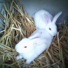 供应彩色长毛兔德系安哥拉长毛兔法系安哥拉长毛兔日系安哥拉长毛兔