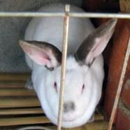 济宁獭兔批发价格法系獭兔种兔价格图片