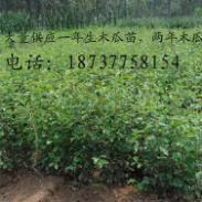 各种规格木瓜苗木瓜树图片