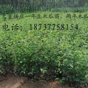 木瓜大量低价1到12公分图片