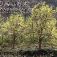 山茱萸10公分到40公分大规格行道树图片