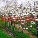 出售15公分大白玉兰树图片