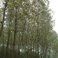 毛白杨意杨107杨成都千蜀园林苗木图片