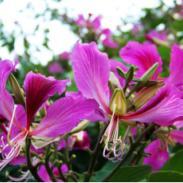 洋紫荆树苗图片