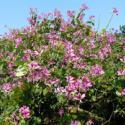 洋紫荆树苗种植基地图片