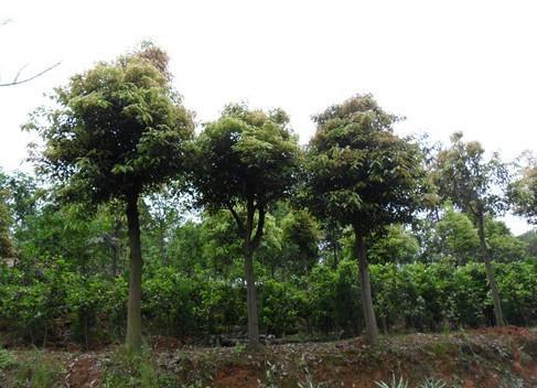 供应香樟小苗5万株米径3到15公分价格