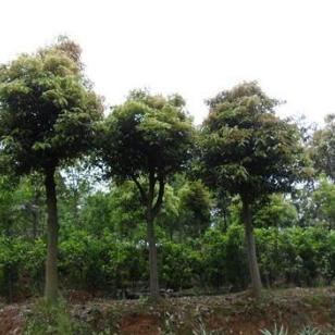 香樟小苗5万株米径3到15公分价格图片