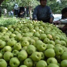 供应新疆香梨厂