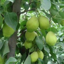 供应新疆香梨水果